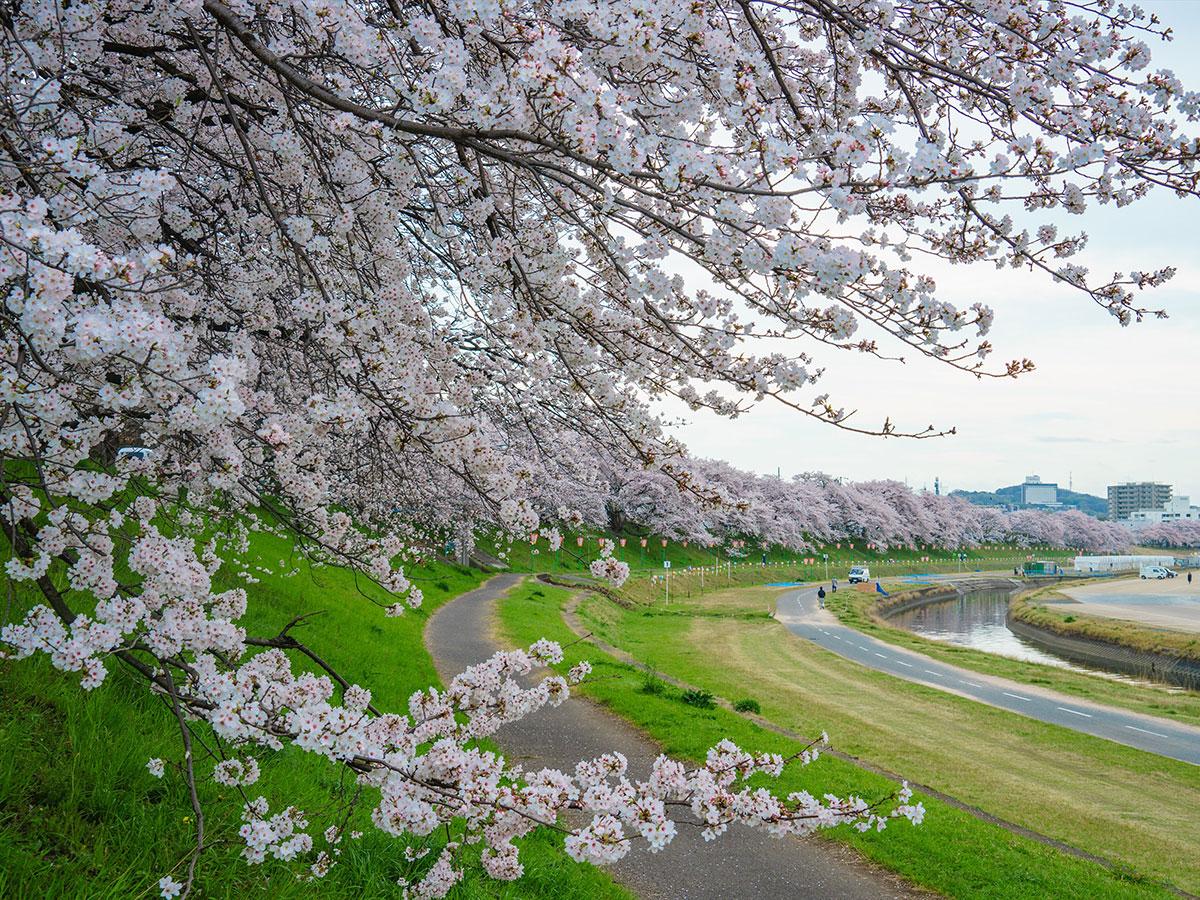 Camino de Cerezos a Orillas del Río Asahi_2