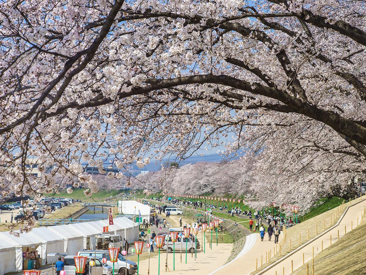 Camino de Cerezos a Orillas del Río Asahi_4