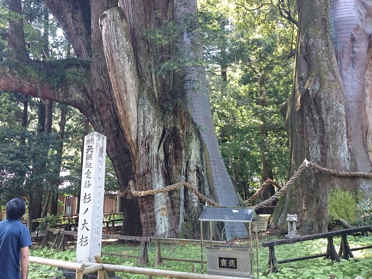 Sugi-no-Osugi Japanese cedar_2