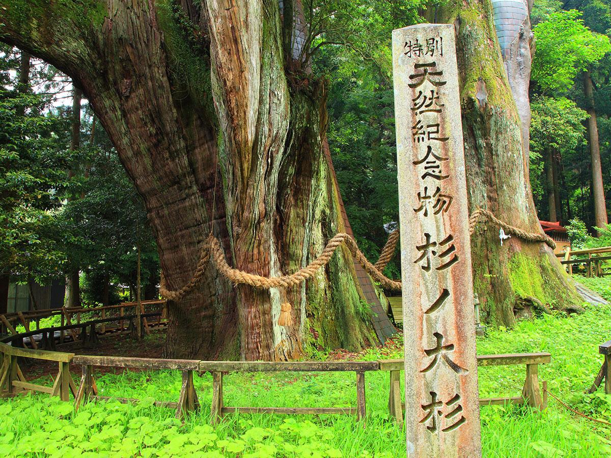 Sugi-no-Osugi Japanese cedar_3