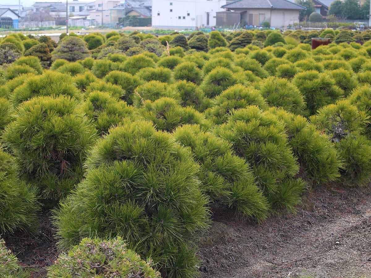 Takamatsu-bonsai-no-sato_4