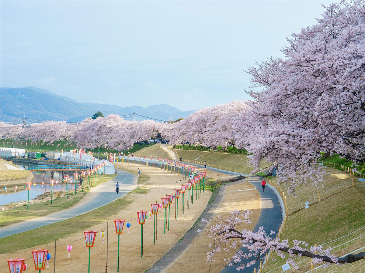 Camino de Cerezos a Orillas del Río Asahi_3