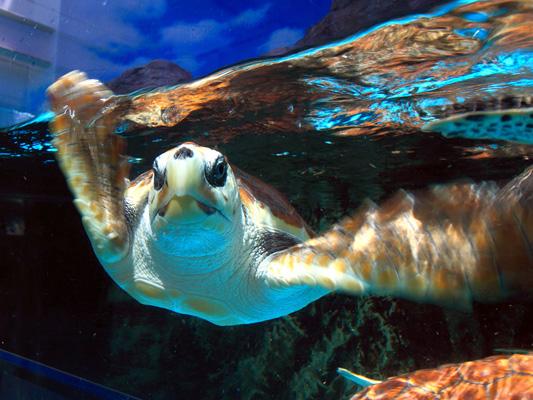 Musée Caretta des tortues de mer de Hiwasa_1
