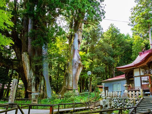 ต้นสนญี่ปุ่นสุกิโนะโอสุกิ_4